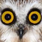 Saw-whet Owl at the Scheele Preserve